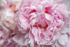 Jaskrawy różowy delikatny bukiet fragrant peonia kwitnie zdjęcie royalty free