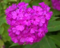 Jaskrawy różowy floksa okwitnięcie Zdjęcia Stock