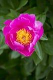 Jaskrawy różowy peonia kwiat z żółtym centre Zdjęcie Stock
