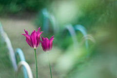 Jaskrawy różowy tulipanów kwiatów ogród przy tłem ślad Obrazy Stock
