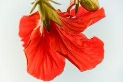 Jaskrawy różowy wielki kwiat czerwonego okwitnięcia tropikalny poślubnik na zielonym natury tle Zdjęcia Royalty Free