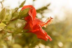Jaskrawy różowy wielki kwiat czerwonego okwitnięcia tropikalny poślubnik na zielonym natury tle Obrazy Stock