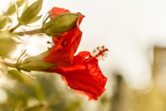 Jaskrawy różowy wielki kwiat czerwonego okwitnięcia tropikalny poślubnik na zielonym natury tle Fotografia Stock