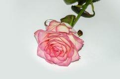 Jaskrawy róża kwiat Zdjęcia Royalty Free