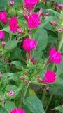 Jaskrawy różowy kwiaciasty krzak Zdjęcie Royalty Free