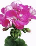 Jaskrawy Różowy Pelargonium kwiat Obraz Royalty Free