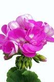 Jaskrawy Różowy Pelargonium kwiat Fotografia Royalty Free