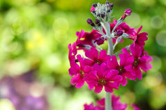 Jaskrawy Różowy pierwiosnek Fotografia Royalty Free