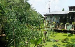 Jaskrawy ranek na małej chałupie na stronie zielona kaczki wody świrzepa i lotosowy staw w tajnym ogródzie Obraz Royalty Free