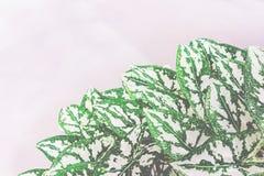 Jaskrawy roślina liść Obraz Royalty Free