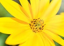 Jaskrawy słońce i żółtych kwiatów zamknięty up Zdjęcia Royalty Free