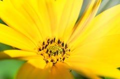 Jaskrawy słońce i żółtych kwiatów zamknięty up Obraz Stock
