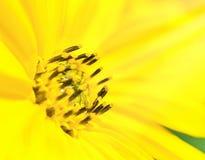 Jaskrawy słońce i żółtych kwiatów zamknięty up Fotografia Stock