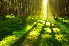 Jaskrawy słońce w lesie Zdjęcia Stock