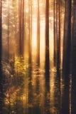 Jaskrawy słońce zaświeca w górę lasu Obraz Stock