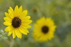 jaskrawy słonecznikowy kolor żółty Zdjęcia Royalty Free