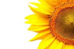 jaskrawy słonecznik Obrazy Royalty Free