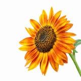 Jaskrawy słonecznik Obraz Royalty Free