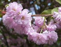 Jaskrawy Sakura zdjęcia royalty free