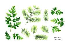 Jaskrawy set młodzi liście Zieleni gałąź jutrzenkowy redwood i liście dorośnięcie roślina royalty ilustracja
