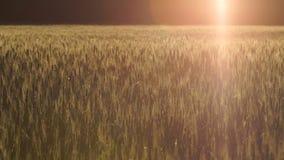Jaskrawy sunbeam spada na pszenicznym polu, medytacja relaksuje, tajemnicza atmosfera zbiory
