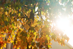 Jaskrawy sunburst przez obfitolistnego drzewa Zdjęcie Royalty Free