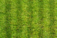 jaskrawy trawy zieleni łata Zdjęcia Stock