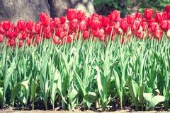 Jaskrawy wałkoni się tulipany Zdjęcie Stock