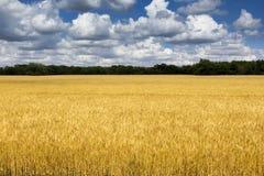 Jaskrawy Złoty Żółty Pszeniczny pole Pod Głębokim niebieskim niebem i chmurami Fotografia Royalty Free