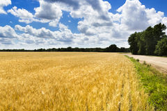 Jaskrawy Złoty Żółty Pszeniczny pole Pod Głębokim niebieskim niebem i chmurami Zdjęcie Royalty Free