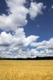 Jaskrawy Złoty Żółty Pszeniczny pole Pod Głębokim niebieskim niebem i chmurami zdjęcia royalty free