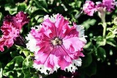 Jaskrawy zaświecający up Różowy biały petuni zakończenie Zdjęcia Royalty Free