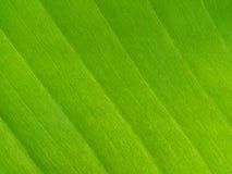 Jaskrawy - zieleń liść obrazy royalty free