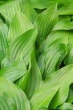jaskrawy - zieleń liść Obrazy Stock