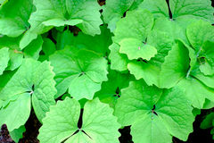 Jaskrawy - zieleń liść Obraz Stock