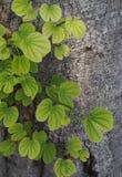 Jaskrawy - zieleń liść Fotografia Stock