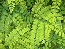 Jaskrawy - zieleń liście akacja fotografia stock