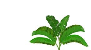 Jaskrawy - ziele? li?cie bananowa palma krzak z zastrze?eniem tropical dla druku, wizerunku lub poczt ilustracji