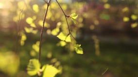 Jaskrawy - zieleń liście brzoza zbiory
