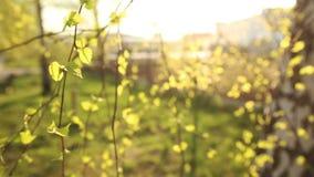 Jaskrawy - zieleń liście brzoza zbiory wideo
