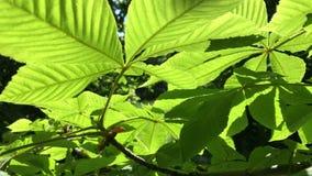 Jaskrawy - zieleń liście kasztan w backlight słońce zbiory wideo