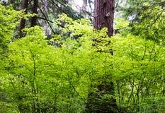 Jaskrawy - zieleń opuszcza otaczać wielkiego drzewa Obraz Stock