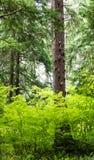 Jaskrawy - zieleń opuszcza otaczającego wielkiego drzewa Zdjęcie Royalty Free