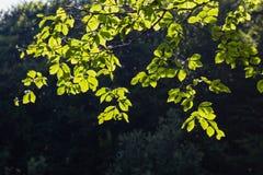 Jaskrawy - zieleń opuszcza tło tapetę obrazy stock