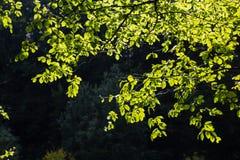 Jaskrawy - zieleń opuszcza tło tapetę obraz stock