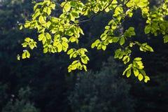 Jaskrawy - zieleń opuszcza tło tapetę zdjęcia royalty free