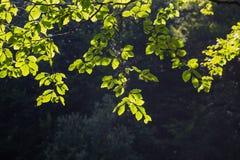 Jaskrawy - zieleń opuszcza tło tapetę zdjęcia stock