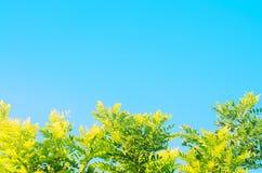 Jaskrawy - zieleń opuszcza w Świeżych i zielonych lato lasowych liściach akacja na niebieskiego nieba tle Świezi i organicznie li zdjęcie royalty free