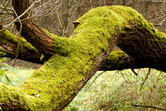 jaskrawy - zieleni mech drzewa bagażniki Obraz Stock