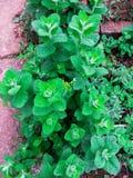 Jaskrawy - zieleni nowi liście w ogródzie, obraz stock